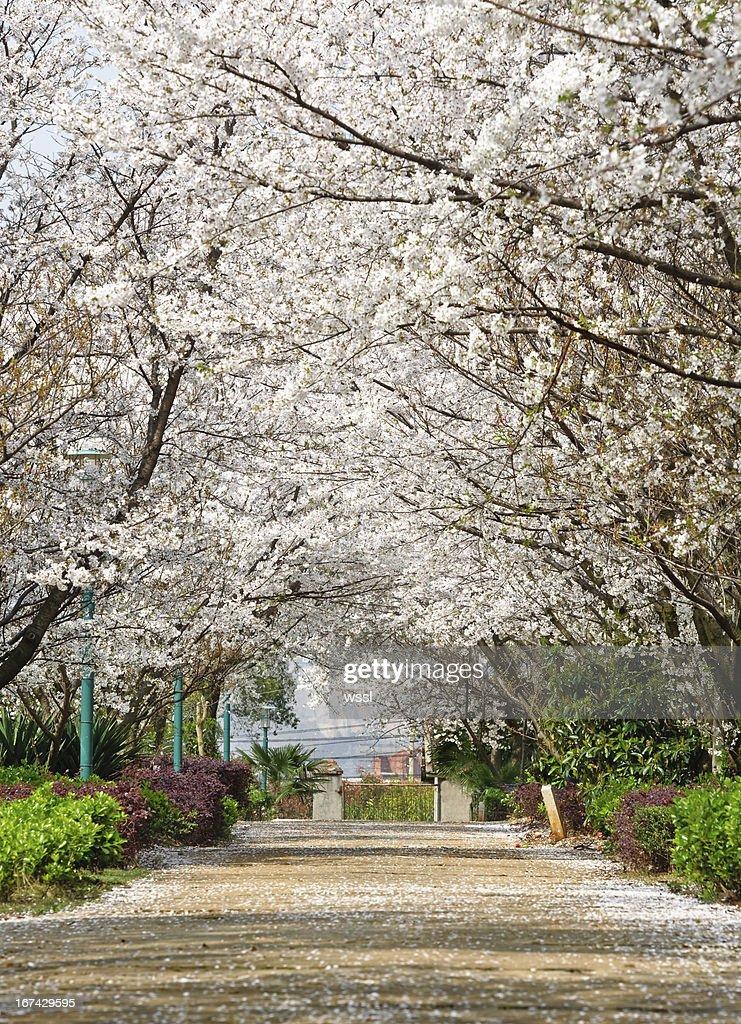 Sakura ruta : Foto de stock