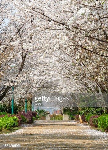 Sakura path : Stock Photo
