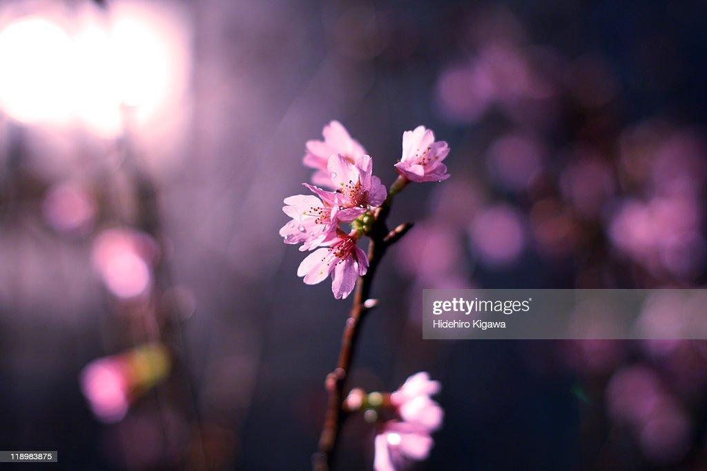 Sakura : ストックフォト