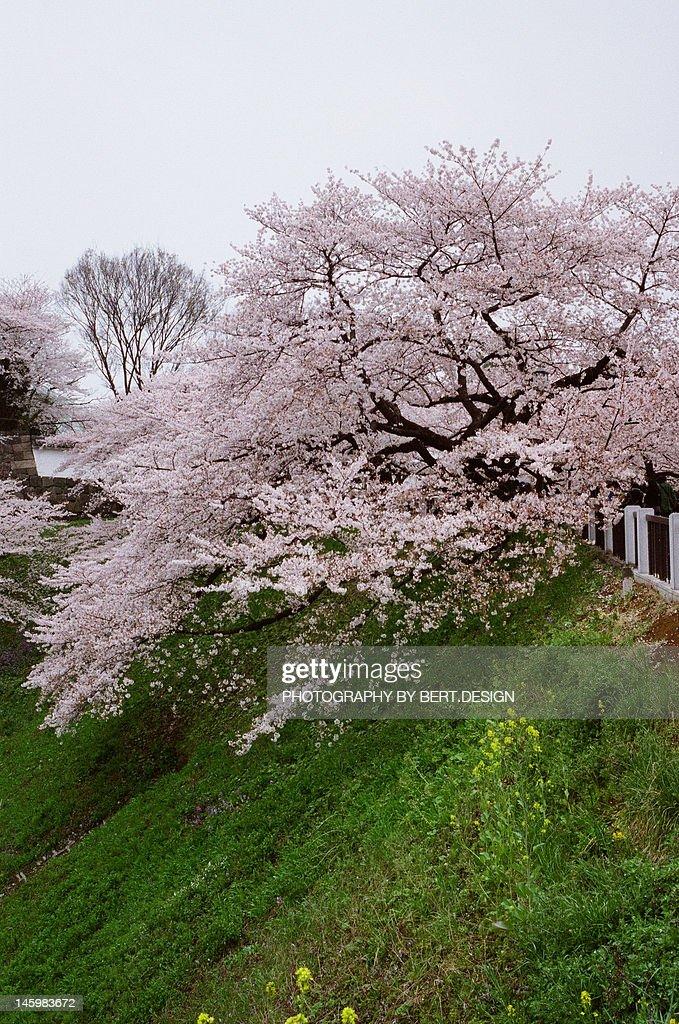 Sakura : Stock Photo