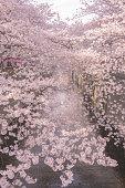Sakura in nakameguro city