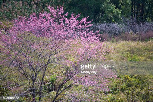 sakura, thai cherry blossom in garden : Stock Photo