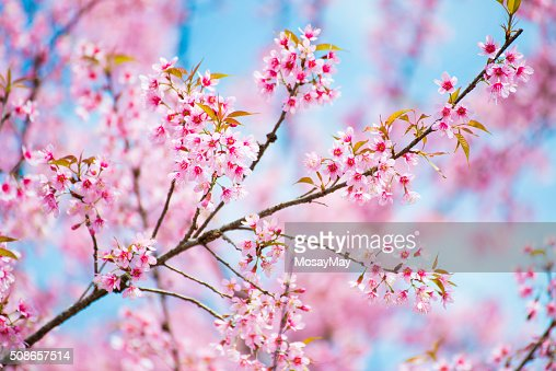 sakura, thai cherry blossom in garden : Stock Photo