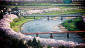 Sakura tree lined by riverbank