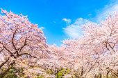 Sakura tree wiht blue sky background  in japan
