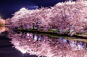 Full blooms of cherry blossoms