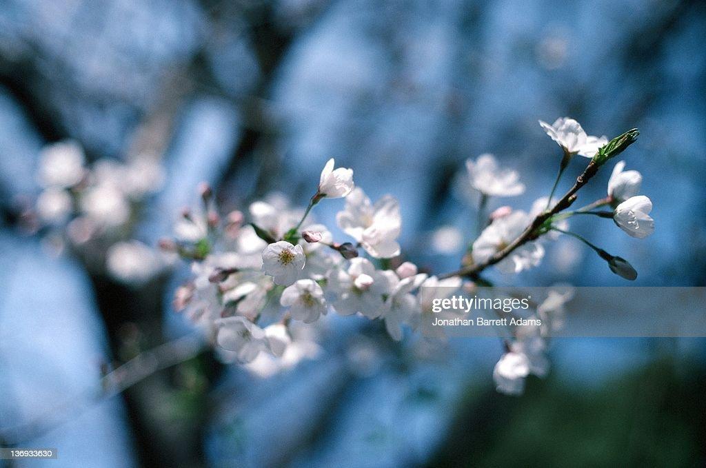 Sakura twig : Stock Photo