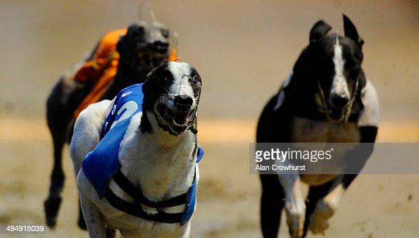 Salad Dodger wins The William Hill Greyhound Derby at Wimbledon Stadium on May 31 2014 in Wimbledon England