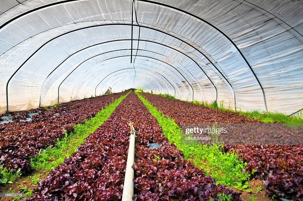Salad greenhouse