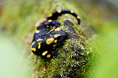 Black and yellow salamander in the wild close-up