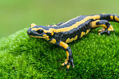 a black yellow spotted fire salamander