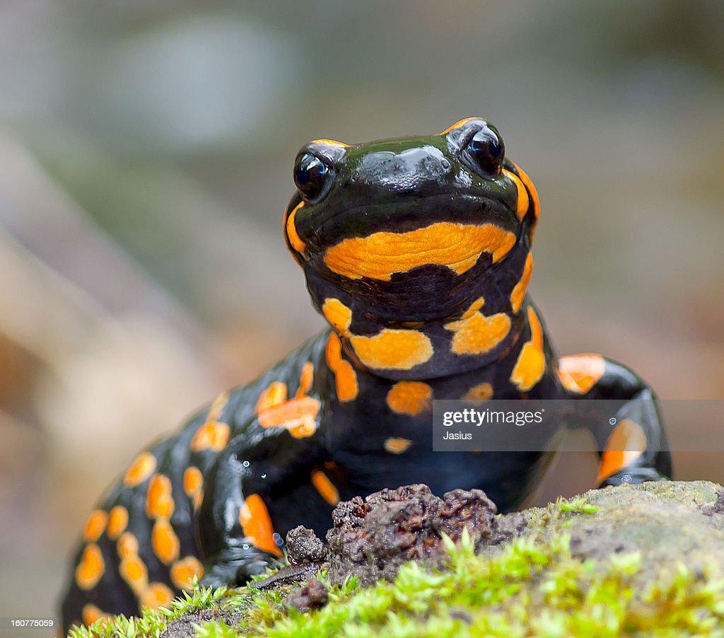 Salamandra salamandra : Stock Photo