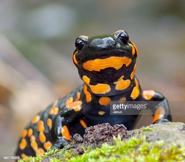Salamandra Fotograf 237 As E Im 225 Genes De Stock Getty Images