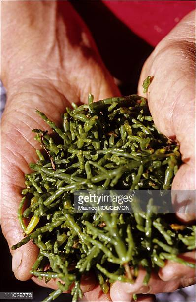 Salicorne seaweed can be used in a salad in Noirmoutier Island in Ile de Noirmoutier France on October 17th 2005