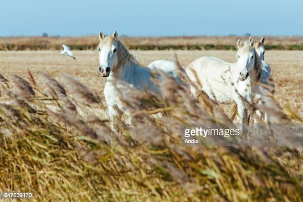 SalindeGiraud November 2012 Spanish Fighting Bulls herd of bulls belonging to Hubert Yonnet Camargue horses in a field