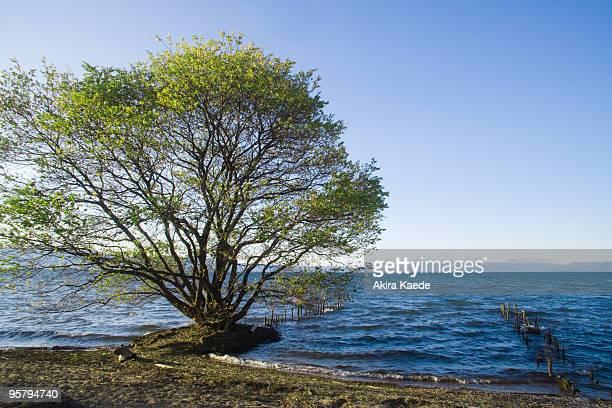 Salix eriocarpa, Lake Biwa lakeside, Japan