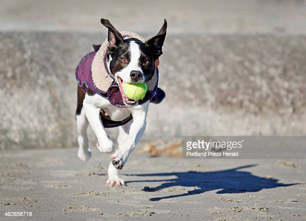 Sally a mutt rescue dog owned by Andy Parker and Margie Kendrick of South Portland tears across Willard Beach Sunday February 1 2015