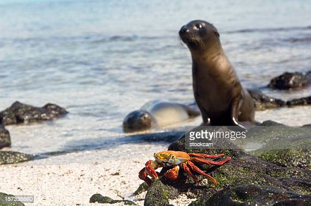 Sally Lightfood Crab and Sea Lions galapagos