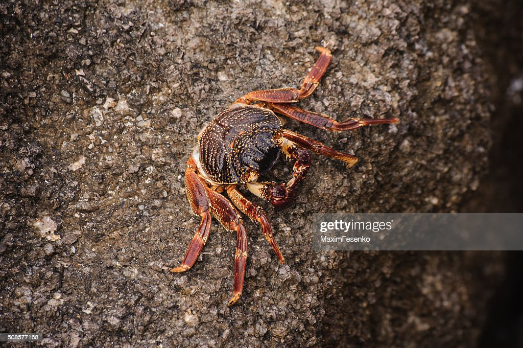 Sally Lightfoot crab Grapsus grapsus on  volcanic rock : Stock Photo