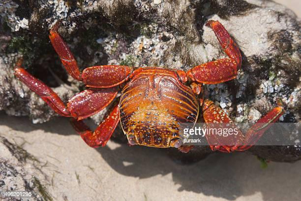 Sally-Lightfoot Crab (Grapsus grapsus).