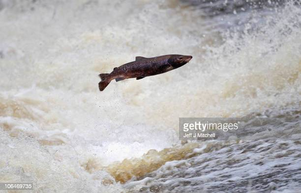 Salmon attempt to leap up the fish ladder in the river Etterick on November 2 2010 in Selkirk Scotland The salmon are returning upstream from the sea...