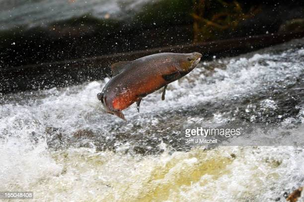 Salmon attempt to leap up the fish ladder in the river Etterick on October 31 2012 in Selkirk Scotland The salmon are returning upstream from the sea...