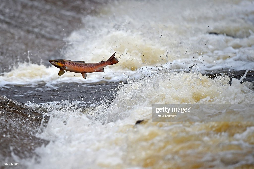 Salmon attempt to leap up the fish ladder in the river Etterick on October 27 2014 in Selkirk Scotland The salmon are returning upstream from the sea...