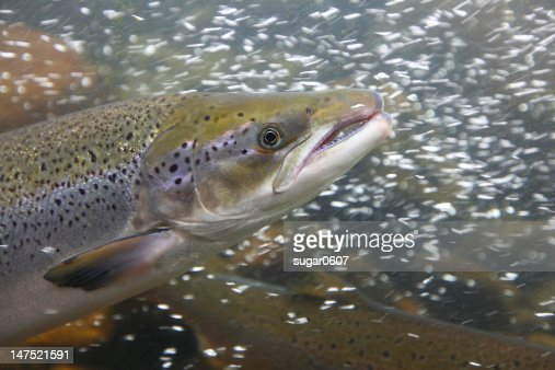 Salmon fish in the water, close-up : Stock Photo