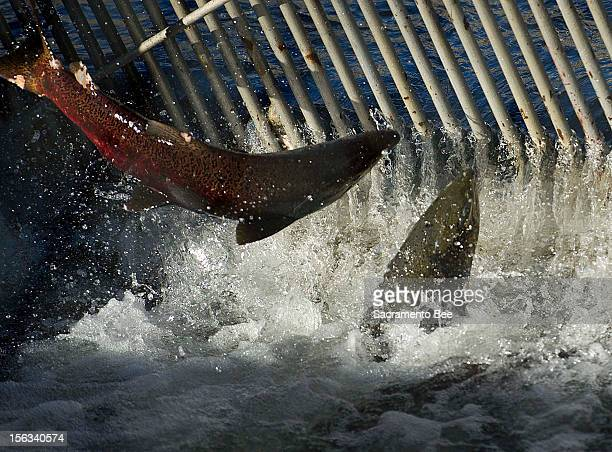 Salmon jump at the gate of the Nimbus fish hatchery in Gold River California on Monday November 12 2012