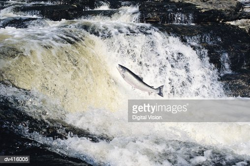 Salmon Leaping, River Tay, Scotland, UK : Stock Photo