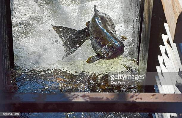 Salmon leaping up fish ladder