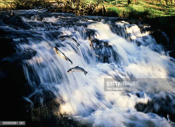 Salmon leaping up waterfall (blurred motion)