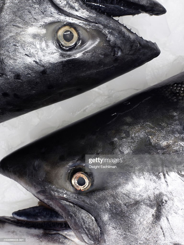Salmon on ice, close-up of heads, overhead view : Stock Photo