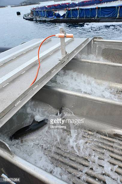 Salmon pass through a shower of fresh water a process for preventing amoebic gill disease at Huon Aquaculture Co's salmon farm at Hideaway Bay...