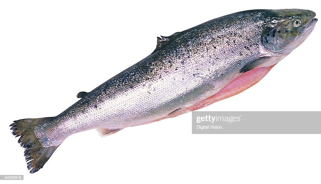 Salmon : Stock Photo