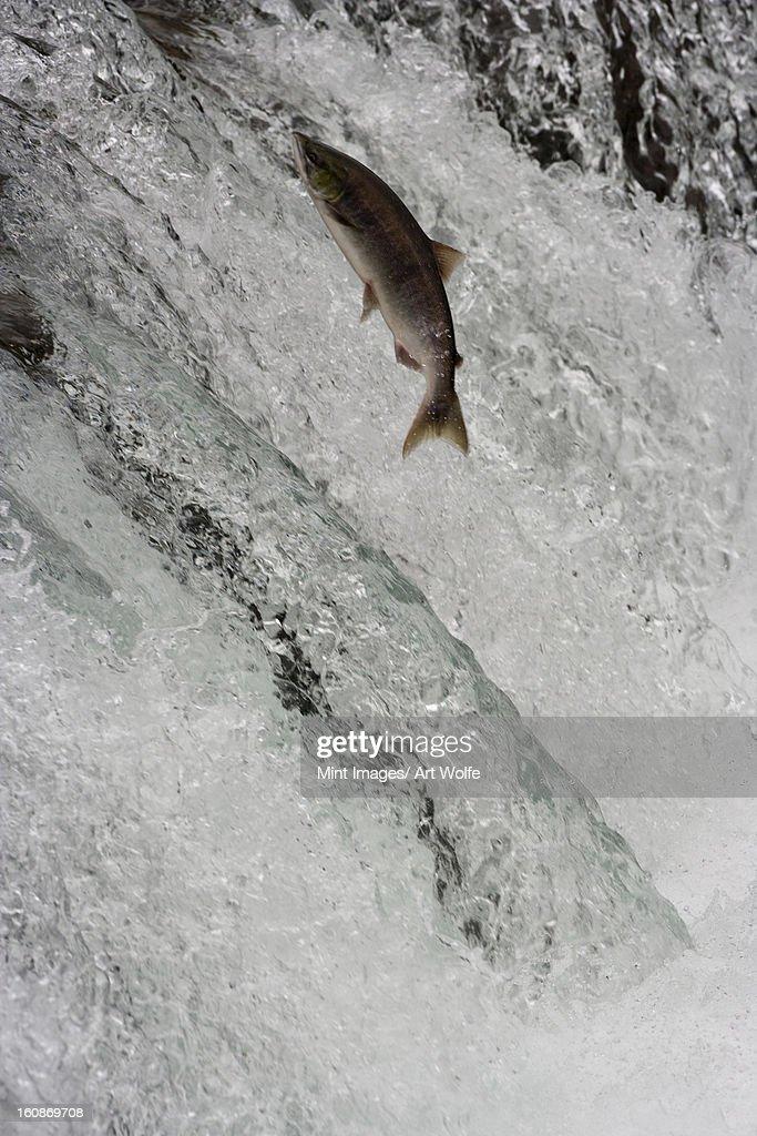 Salmon swimming upstream, Katmai National Park, Alaska, USA : Stock Photo