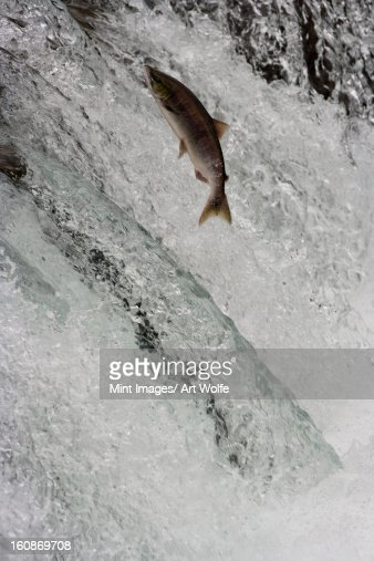 Salmon swimming upstream, Katmai National Park, Alaska, USA : Foto de stock