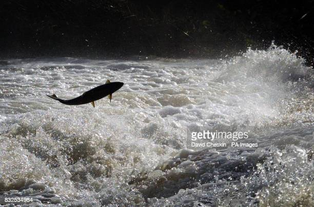 Salmon try to jump to the top of the Could Weir Selkirk during the long journey up the Tweed river in the Scottish Borders