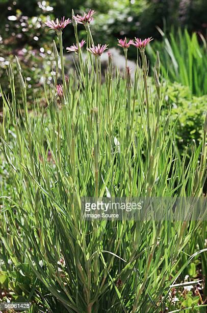 Schwarzwurzel plant