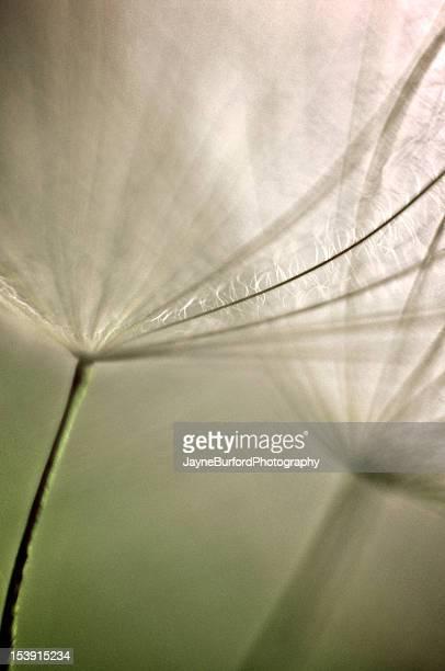 Salsify Seed Head Macro