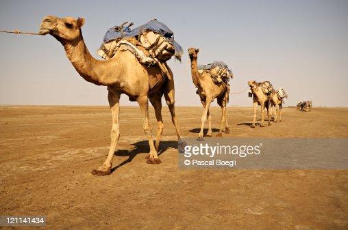 Salt caravan, Danakil desert ,Ethiopia