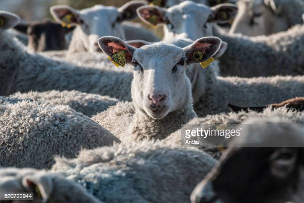 Salt meadow sheep in the bay of Mont SaintMichel