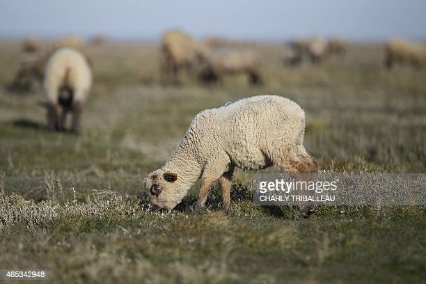 Salt meadow sheeps are pictured on the polder SaintLouis on March 6 2015 in RozsurCouesnon northwestern France AFP PHOTO/CHARLY TRIBALLEAU
