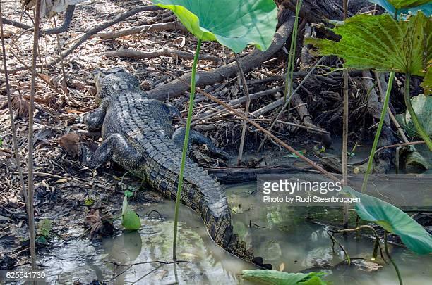 Salt water Crocodile