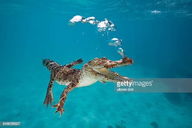 Saltwater Crocodile Crocodylus porosus Queensland Australia
