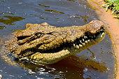 Head of saltwater crocodile (Crocodylus porosus), out of water.