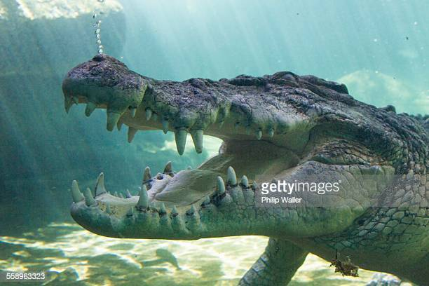 Saltwater crocodile under water