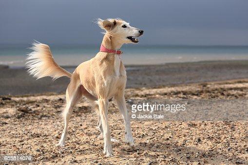saluki dog. similar images saluki dog