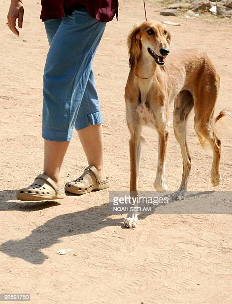 A Saluki hound is walked by an owner while participating at a dog show in Hyderabad on November 1 2009 Rare breeds of dogs are gaining in popularity...
