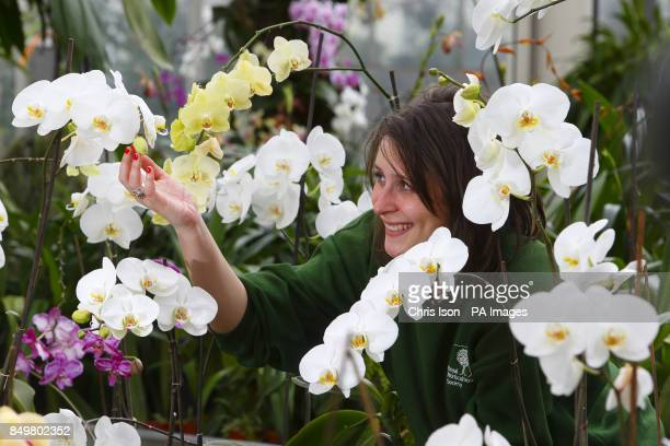 Sam Bevington from RHS Wisley studies some of the hundreds of orchids which will go on display during 'Orchids in the Glasshouse' which runs until...